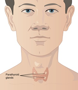 The <a href='/glands/parathyroid-glands/'>parathyroid glands</a> are located in the neck just behind the butterfly-shaped <a href='/glands/thyroid-gland/'>thyroid gland</a>