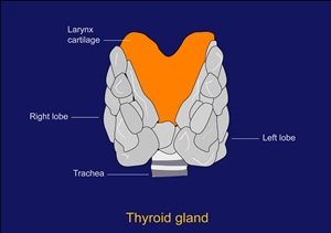 Thyroid Gland You And Your Hormones From The Society For