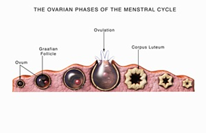 The ovarian phases of a 28-day menstrual cycle